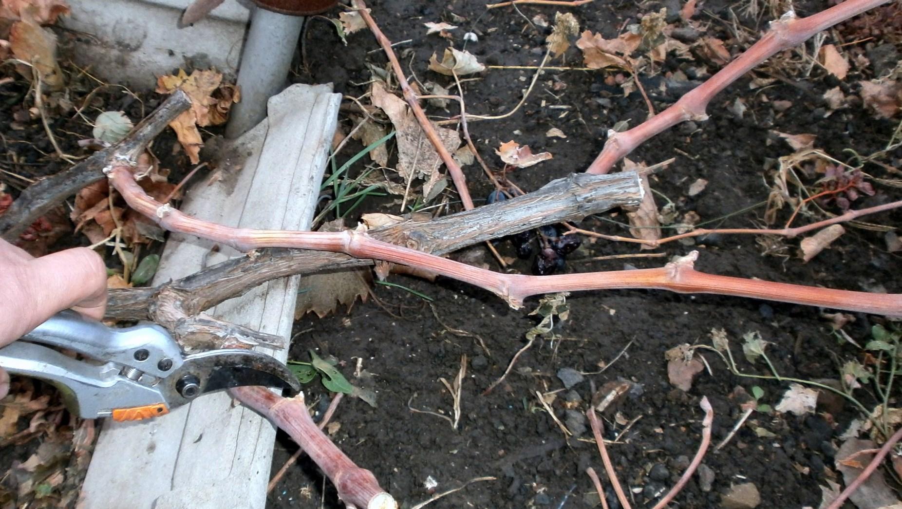 Осенняя обрезка старого виноградника