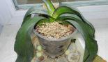 vjanut listja orhidei