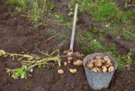 vykapyvanie kartofelja