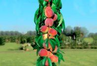 Сорта колоновидных персиков