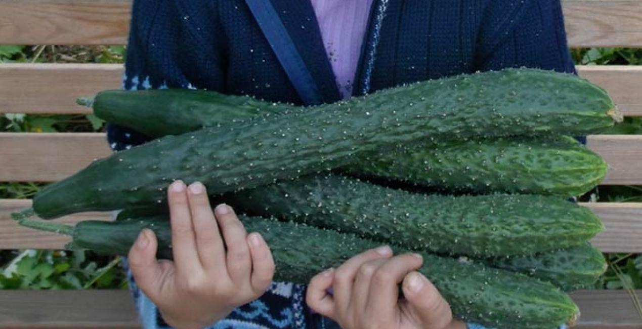 Огурцы Изумрудный поток: описание сорта, сколько дают урожая, выращивание, фото