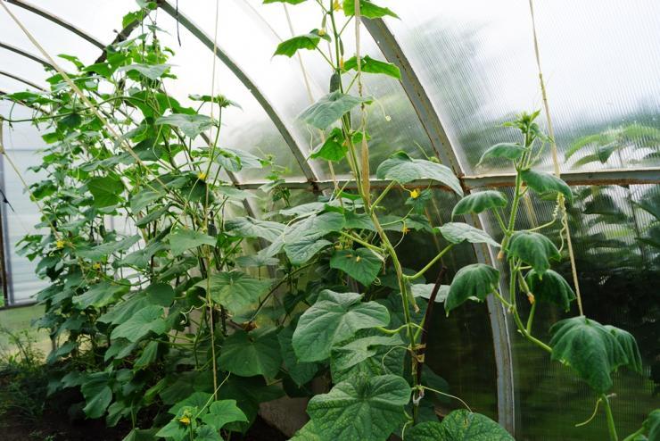 Как формировать огурцы в один стебель в теплице: правила выращивания