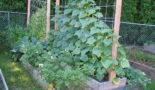 Огурцы на шпалере в открытом грунте: выращивание, посадка и уход