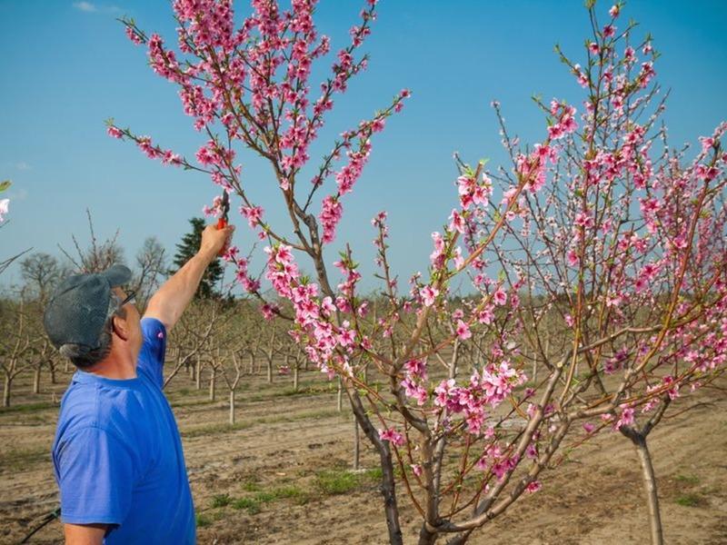 Как ухаживать за персиком весной