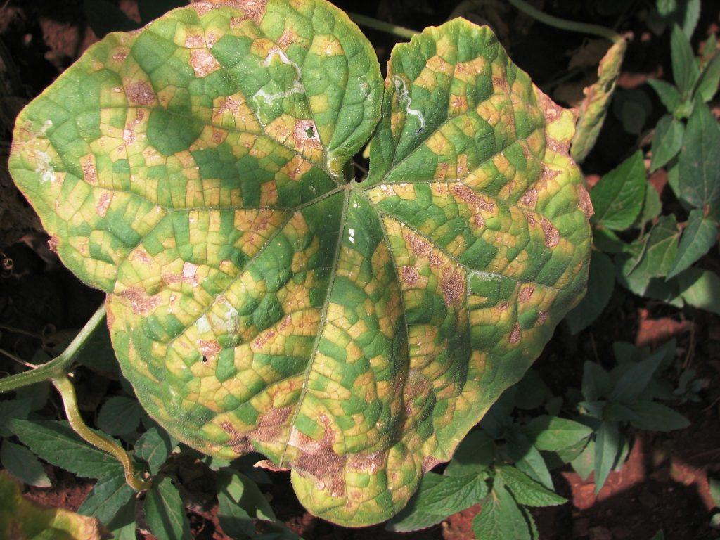 Ржавые пятна на листьях огурцов: причины, лечение