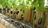 Баклажаны: выращивание и уход в теплице с огурцами, можно ли сажать вместе, фото