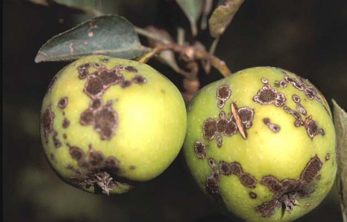 яблоня больная