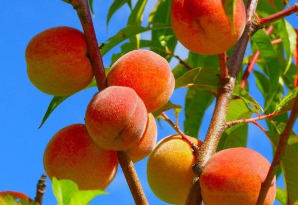 Kak-vyrastit-persik