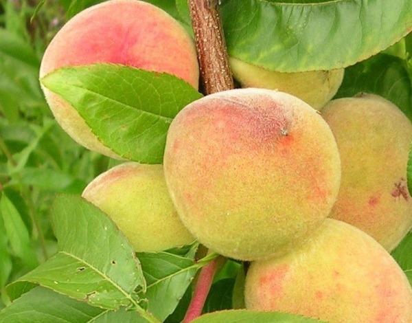 Лучшие сорта персиков на кубани: посадка и уход