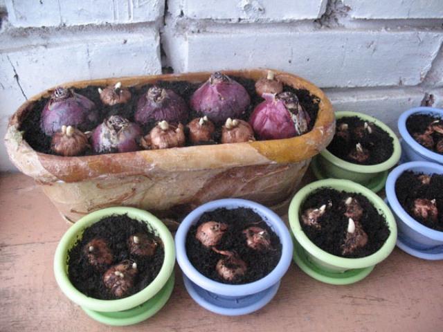 размножение луковиц