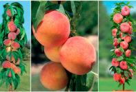 kolonovidnyj-persik