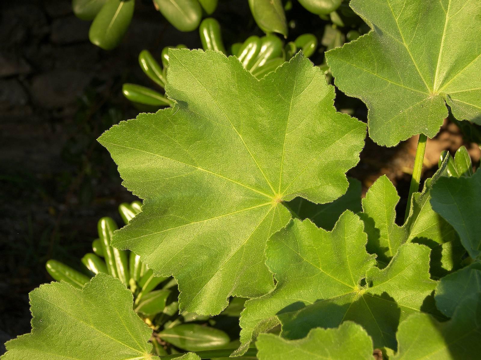 листья мальвы