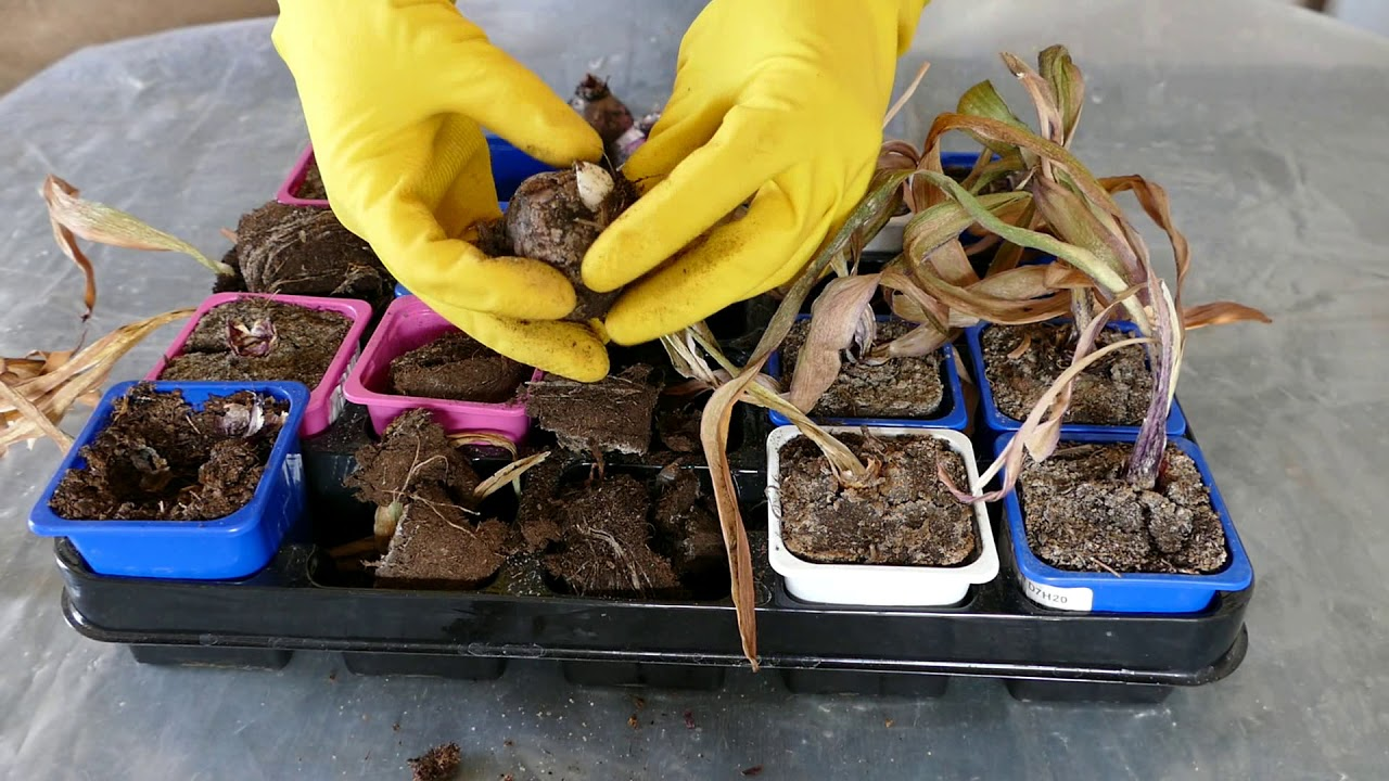 хранение луковиц гиацинтов
