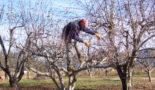 обрезка сливы весной