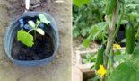 Выращивание огурцов в 5 литровых бутылках