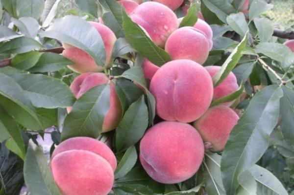 persiki harnas