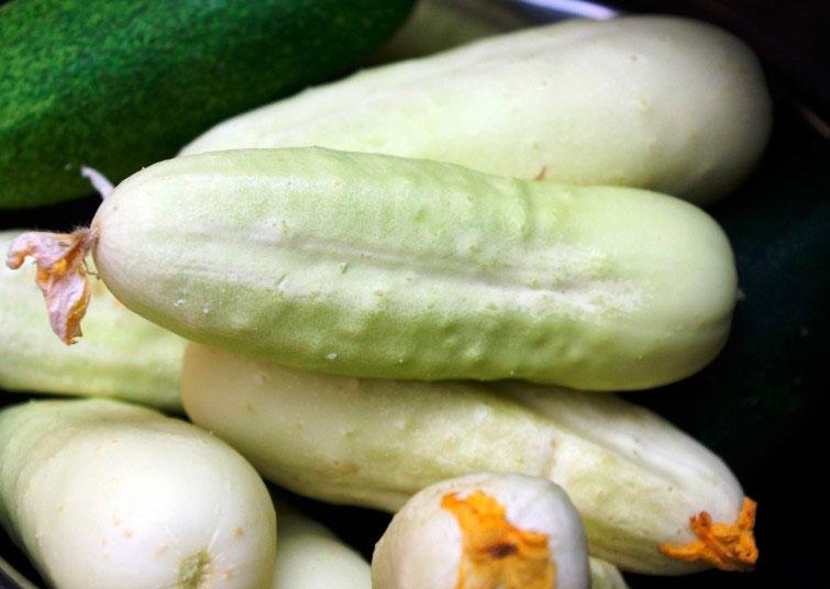 Белые огурцы: описание сорта, сколько дают урожая, выращивание, фото