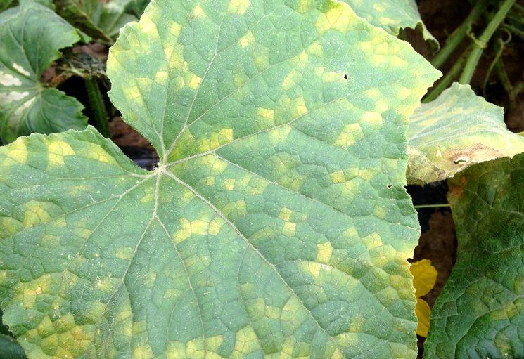 Мраморный рисунок на листьях огурца: причины, способы борьбы и профилактики