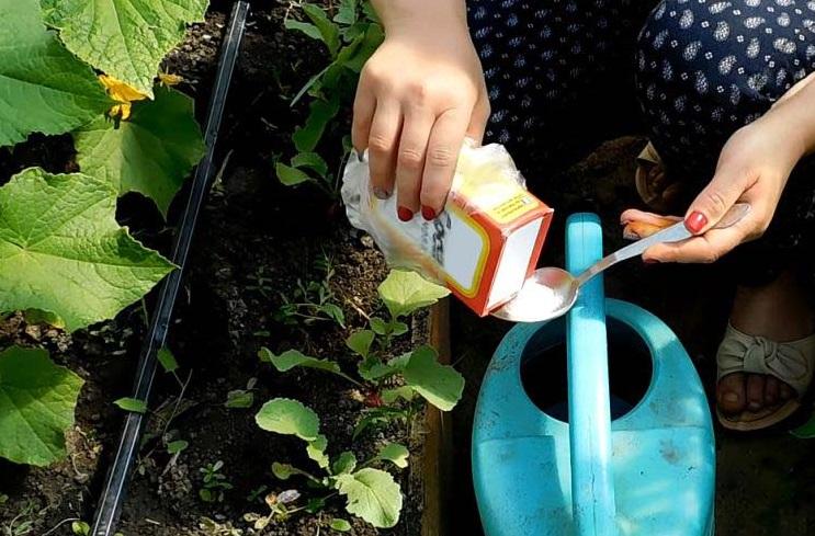 Подкормка огурцов содой: сроки применения, правила обработки