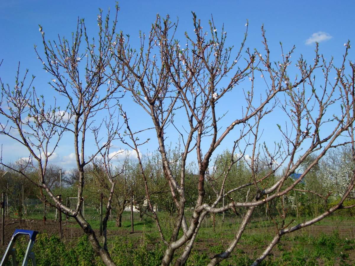 Посадка персика осенью, особенности процедуры исходя из региона, этапы работ, включая выбор саженца, подготовку почвы и посадку, а также последующий уход