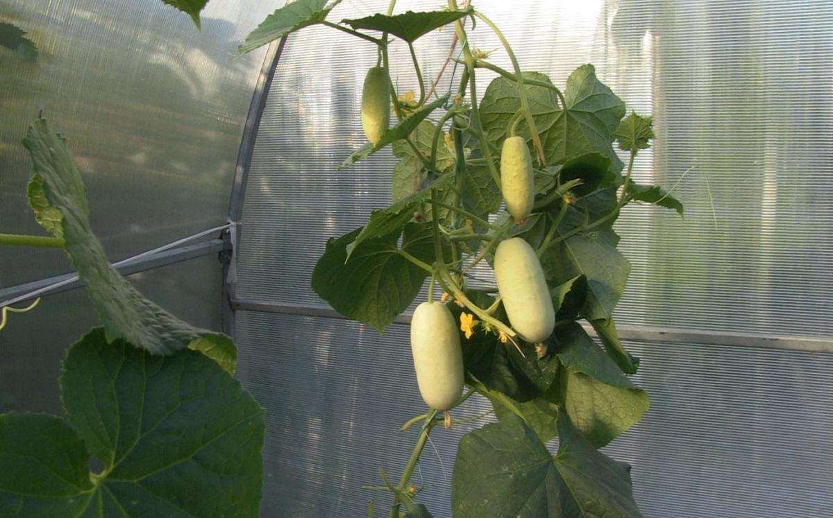 выращивание белых огурцов
