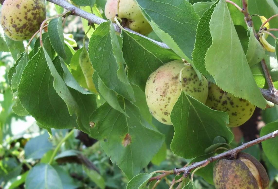 Обработка абрикоса осенью