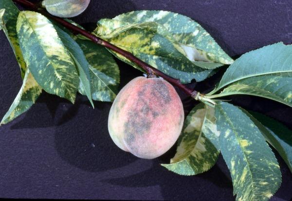 bolezn persikov
