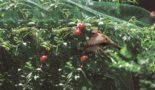 черешня от птиц