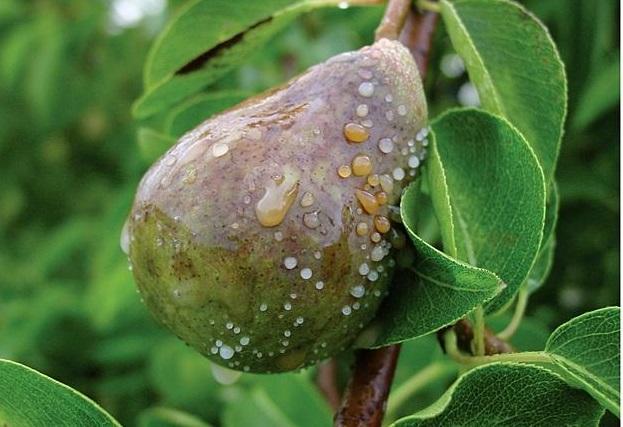 cherneut grushi