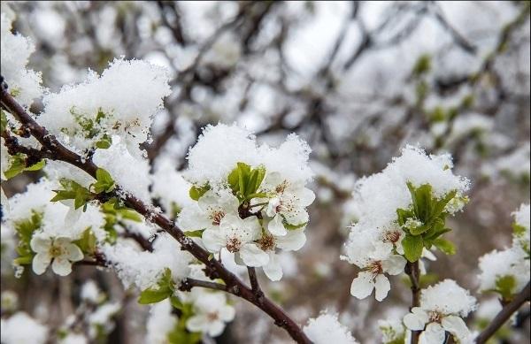 cvetuschaja chereshnja v snegu