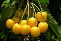 сорта желтой черешни