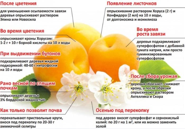 kak podkarmlivat abrikos