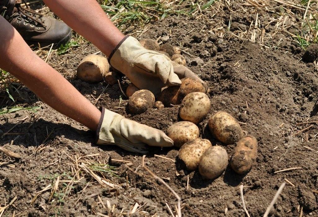 Благоприятные дни для выкапывания картофеля в 2020 года для Московской области