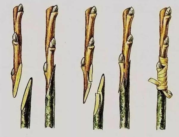 kopulirovka