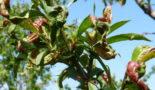 курчавость персика