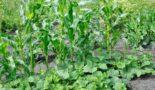 Выращивание огурцы с кукурузой на грядке