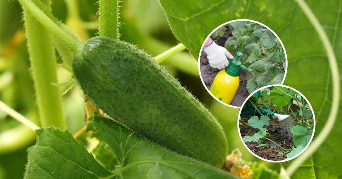 Лучшие сорта пчелоопыляемых огурцов: посадка и уход