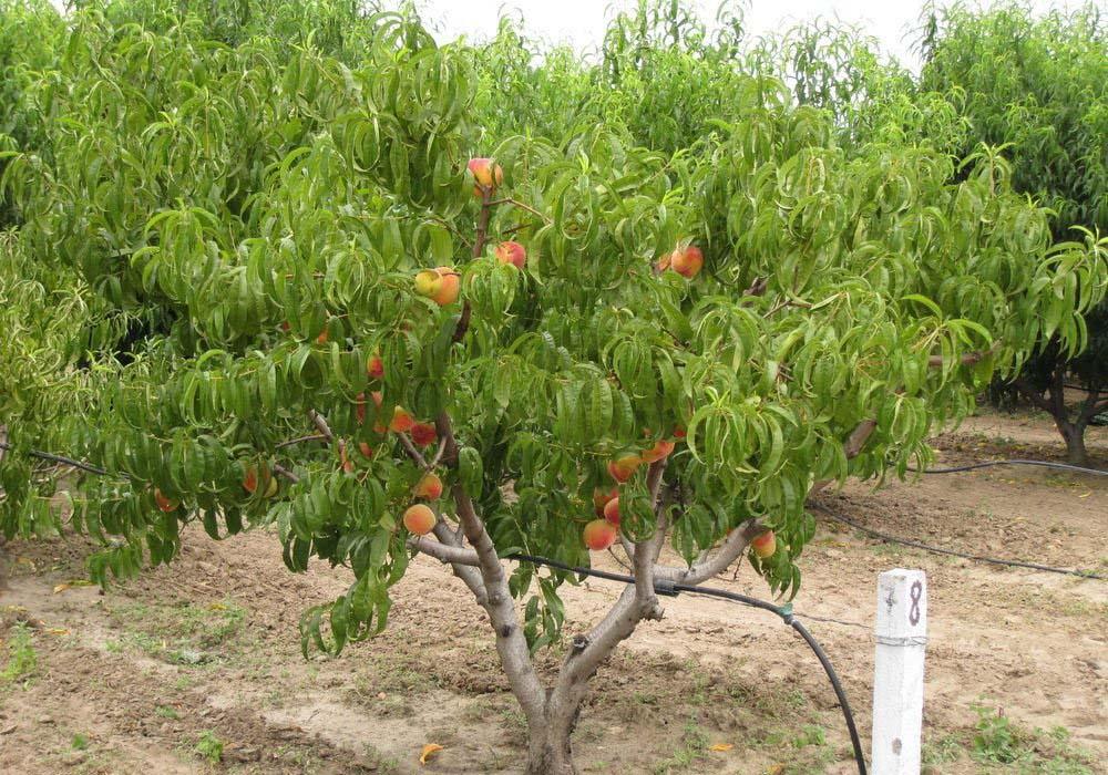 Цветение персика, в том числе, как защитить от похолодания, а также, нужно ли обрывать первые цветки || Какого цвета цветы персика