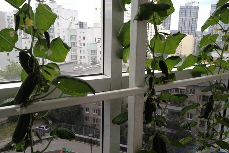 Огурцы на балконе