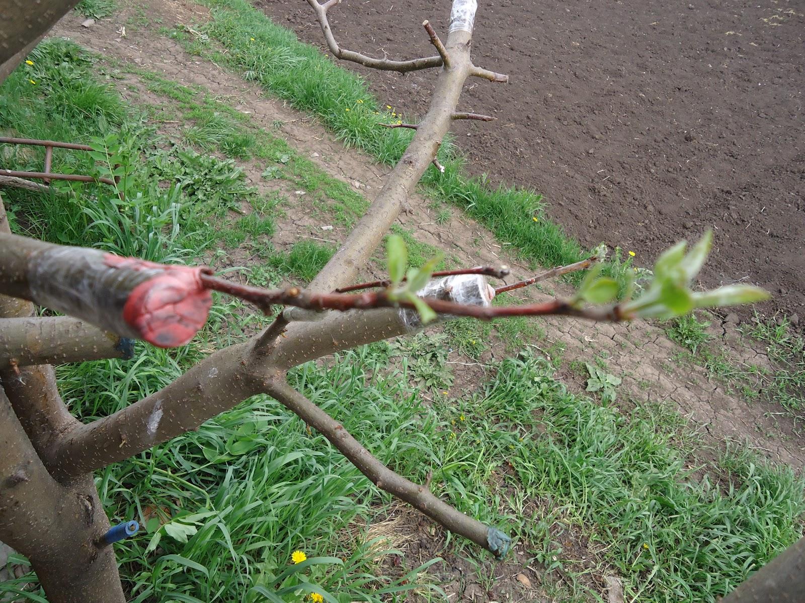 прививка персика
