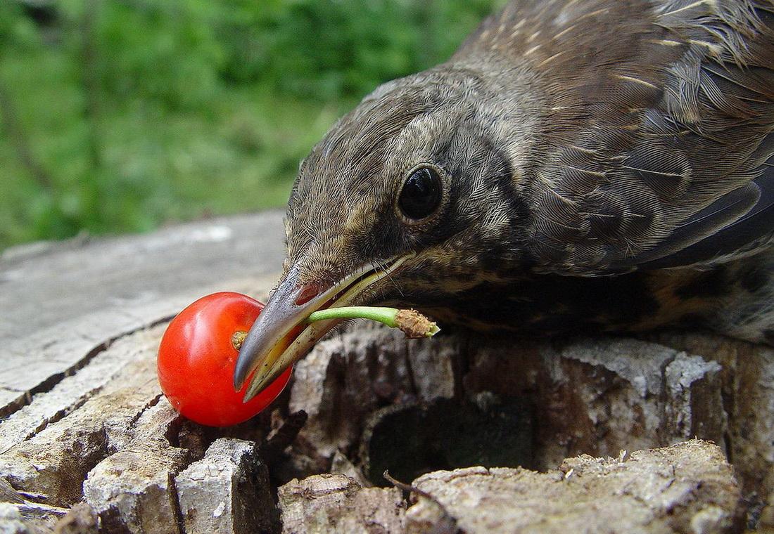 птица ест черешню