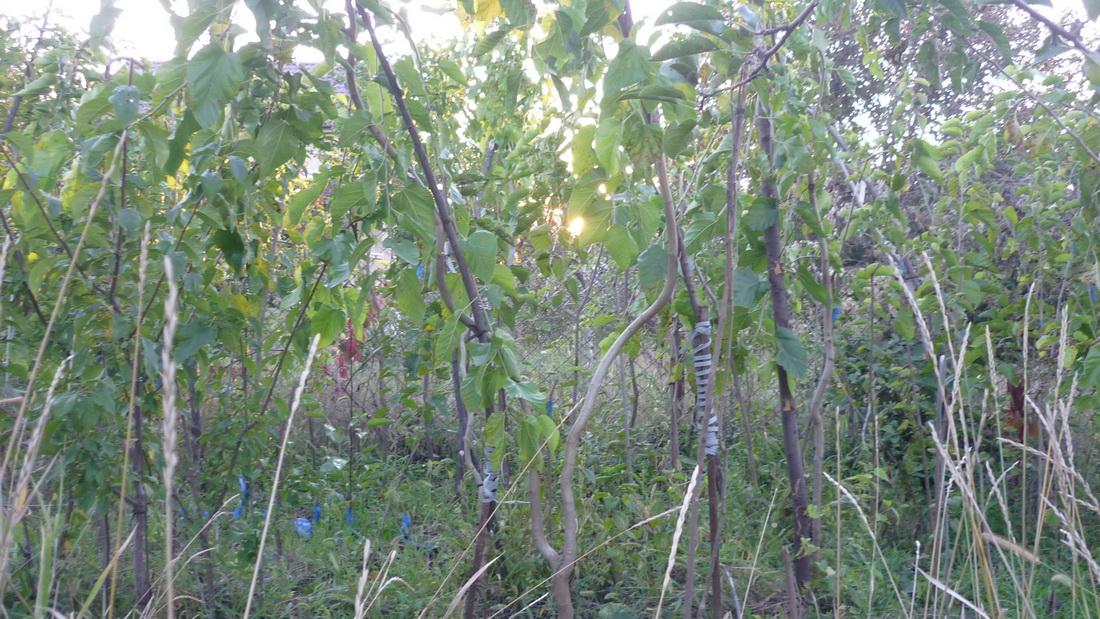 Способы и правила обрезки шелковицы осенью