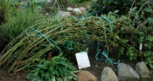 Как укрыть плетистую розу на зиму