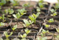 Когда сажать баклажаны на рассаду в 2020 году по лунному календарю - самые благоприятные дни для посадки рассады баклажан в таблице