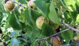Болезни и вредители абрикоса, описание характерных признаков, фотографии изменений на листьях, плодах и коре, а также методы лечения