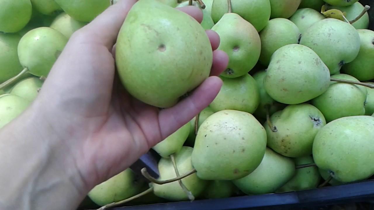 Как и когда собирать груши, оптимальные сроки в зависимости от цели и региона, способы снятия урожая с высоких деревьев