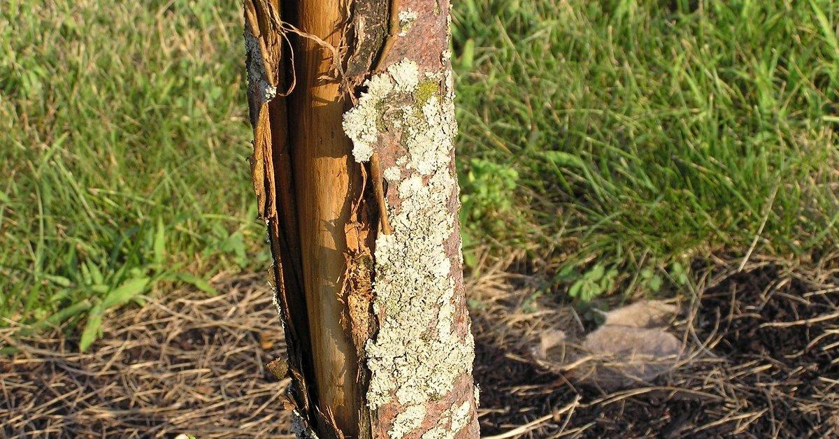Кора яблони отслоилась, что делать при выявлении проблемы, заболевания, вызывающие отслоение и способы борьбы с ними