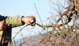 Как обрезать сибирские яблони осенью, оптимальные сроки проведения процедуры, важные правила и последующий уход