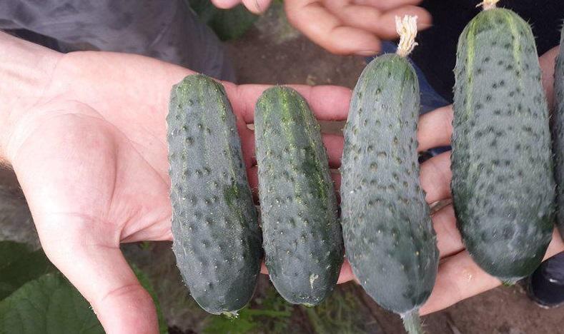Огурец Аристократ f1: описание сорта и отзывы, характеристика, выращивание и уход