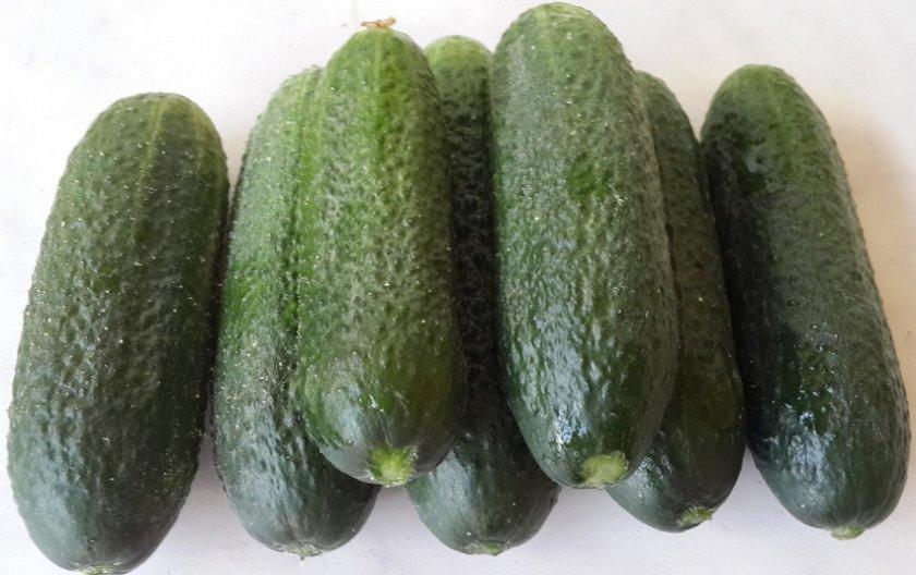 Огурец Клодин f1: отзывы, описание и фотографии, выращивание в теплице